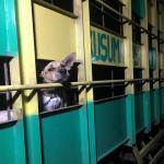Solo Raya Jadi Pusat Perdagangan Daging Anjing di Jawa