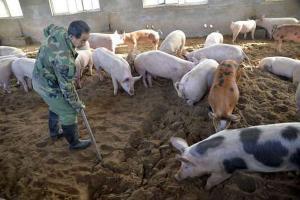 Yogyakarta Antisipasi Demam Babi Afrika dan H5N1