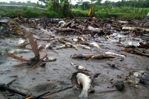 Air Kali Cengek Menghitam, Ratusan Ikan Mati