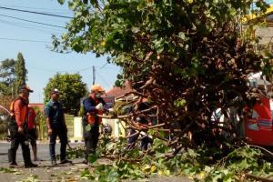 Waspada Pohon Tumbang di Kota Semarang