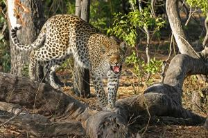 Macan Lawu Dititipkan ke Solo Zoo