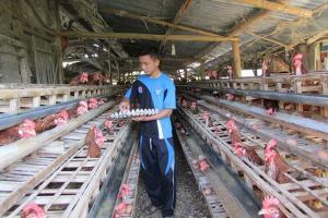 Masih Rendah, Harga Ayam Hidup di Jateng