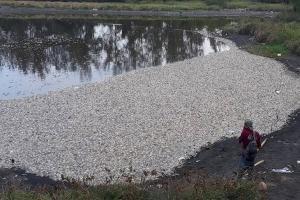 Ribuan Ikan di Laguna Pantai Trisik Mati Mendadak