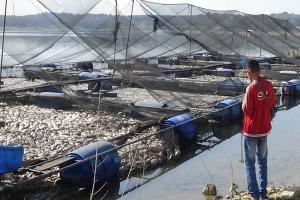 Ribuan Ton Ikan di Waduk Kedungombo Sragen Mati
