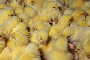 Pemkab Tegal Berencana Musnahkan 25 Ribu Ekor Ayam