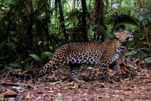 Macan Tutul Gunung Lawu Mati di Solo Zoo