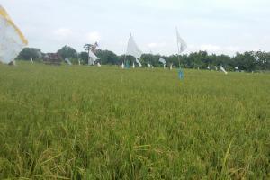500 Hektare Sawah di Kendal Terancam Puso