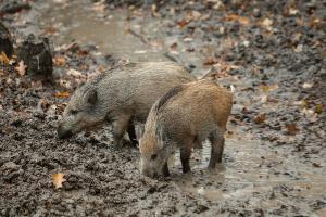 Petani Grantung Purbalingga Buru Babi Hutan