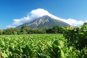 Produksi Tembakau Temanggung Susut 50 Persen