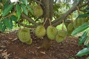 Lombok Barat Siap Budi Daya Durian Berorientasi Korporasi