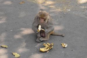 Celeng dan Monyet Serbu Lahan Petani Banjarnegara