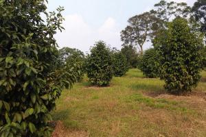 Kurangi Emisi Karbon, Kementan Giatkan Budi Daya Manggis
