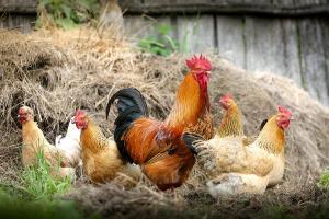 Flu Burung Diduga Merebak ke Brebes