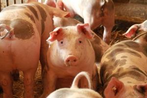 Salatiga Waspadai Peredaran Flu Babi Afrika