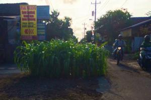 Proyek Mangkrak, Warga Tanam Jagung di Tengah Jalan
