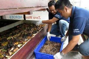 Tekan Sampah, Pemkab Semarang Akan Kembangkan Belatung