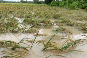 500 Hektare Sawah di Banyumas Terancam Banjir