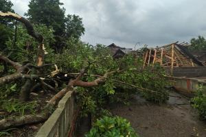 Pohon Tumbang di Sukoharjo Akan Ditanam Kembali