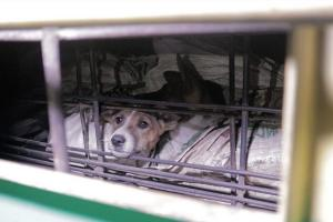 Solo Mesti Larang Konsumsi dan Jual Daging Anjing