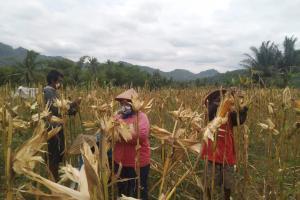 Petani Menoreh Kabupaten Magelang Sukses Panen Jagung Hybrida Belasan Ton